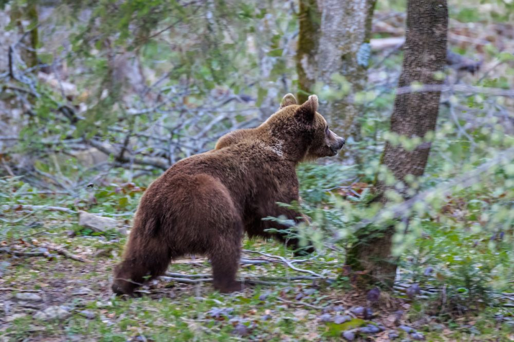 Los osos en busca de miel u hortalizas